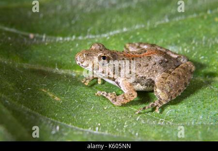 Blanchard's Northern Cricket Frog (Acris crepitans blanchardi) on a leaf, Ames, Iowa, USA