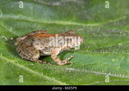 Blanchard's Northern Cricket Frog (Acris crepitans blanchardi) on a leaf, Ames, Iowa, USA - Stock Photo