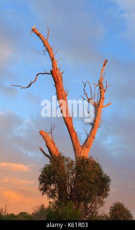 A little corella (Cacatua sanguinea) perched on a dead tree at Star Swamp Reserve suburban bushland - Stock Photo