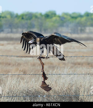 Wedge-tailed Eagle (Aquila audax) with a dead bat entangled in barbed wire, Queensland, QLD, Australia - Stock Photo