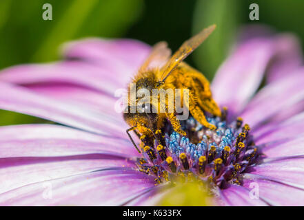 Honey Bee (Apis mellifera) on a Osteospermum ecklonis (African daisy) collecting nectar / pollinating the flower, - Stock Photo