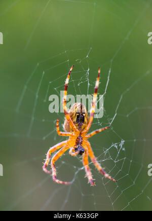 Araneus Diadematus (European Garden Spider, Diadem Spider, Cross Spider), an Orb Weaver spider on a web in Autumn - Stock Photo