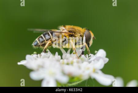 Apis mellifera (Honey Bee) on a white flower in early Autumn in West Sussex, England, UK. Honey bee macro. Honeybee - Stock Photo