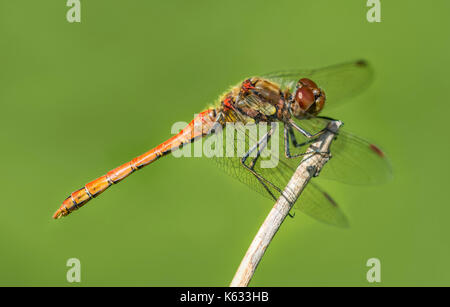 Common Darter Dragonfly - Immature male (Sympetrum striolatum) on a twig, in woodland near water in early Autumn - Stock Photo