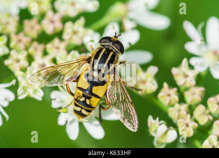 Helophilus pendulus (European Hoverfly) AKA The Footballer, The Sunfly, Common Tiger Hoverfly, on a flower in early - Stock Photo