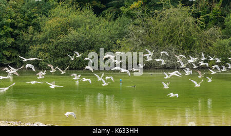 Flock of seagulls flying low over a lake. Gulls flying over water in West Sussex, England, UK. - Stock Photo