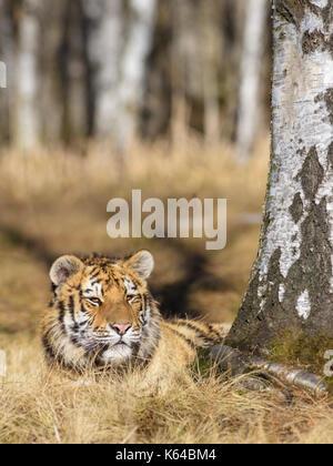 Siberian tiger (Panthera tigris altaica), resting on a birch, captive, Moravia, Czech Republic - Stock Photo