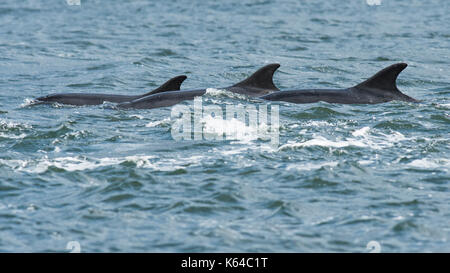Bottlenose dolphins (Tursiops truncatus), dorsal fins, Chanonry Point, Moray Firth, Inverness, Scotland - Stock Photo