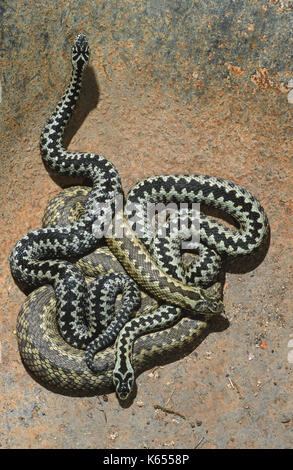 Adders or Northern Vipers Vipera berus. Sexually dimorphic in colour. Two males with a single female. On a rusting - Stock Photo