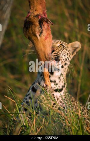 Young leopard eating impala, Kwai, Botswana - Stock Photo