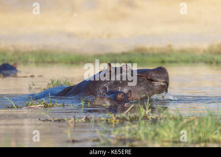 young hippo's playfighting in Kwai River, Botswana - Stock Photo