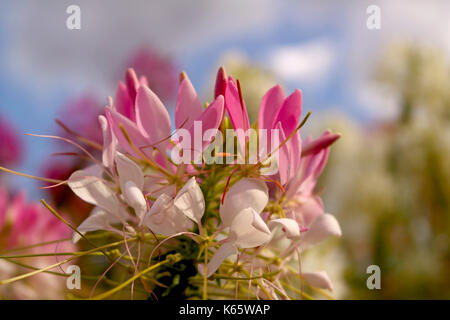 Cleome spinosa. Spider flower. Garden flower. Pink flower. - Stock Photo