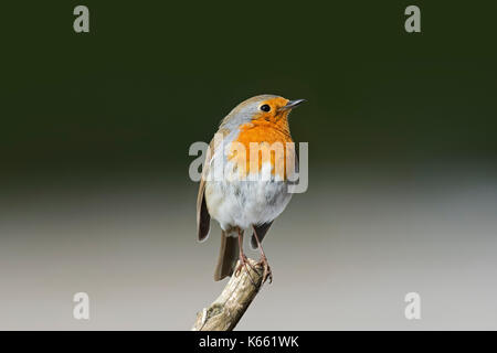 European robin (Erithacus rubecula) perched on branch - Stock Photo