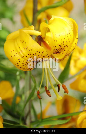 Lilium Citronella, an Asiatic hybrid lily with bright golden Turk's cap flowers in full bloom in an English garden - Stock Photo
