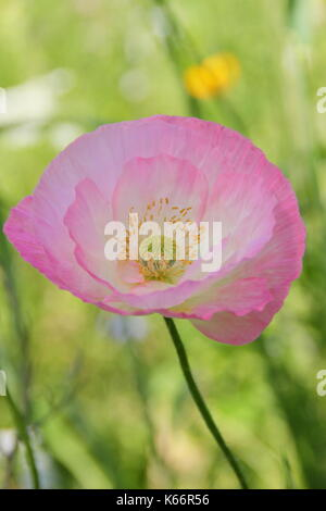 True Shirley poppy (Papaver rhoeas), displaying silken petals, pastel colours and a white base in an English cultivated wildflower meadow in summer