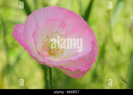 True Shirley poppy (Papaver rhoeas), displaying silken petals, pastel colours in a cultivated wildflower meadow at the height of an English summer