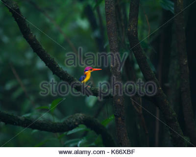 The beautiful Oriental Dwarf Kingfisher (Ceyx erithaca) on a mossy branch in the dense western ghats - Stock Photo