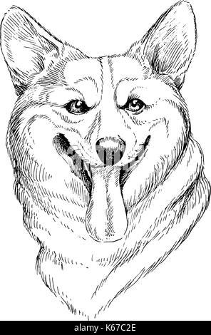 Vector hand-drawn sketch portrait of welsh corgi pembroke . Hand drawn domestic pet dog illustration isolated on - Stock Photo
