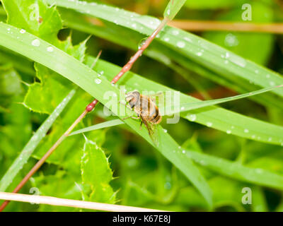 a hover fly up close perched on the green leaf wet rain water; England; UK - Stock Photo