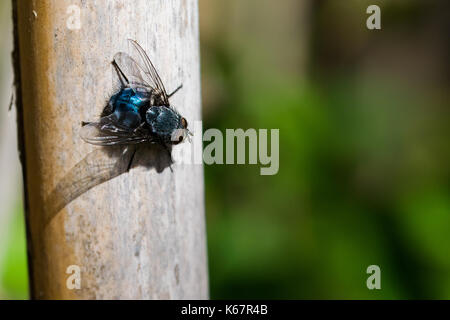 A blue bottle fly, or bottlebee, Calliphora vomitoria, resting on a reed before flying again. Found in a valley - Stock Photo