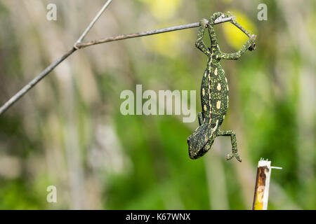 A baby chameleon holding on and trying to balance on a fennel twig, using its tail and legs. Maltese Islands, Malta - Stock Photo