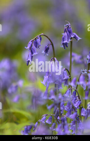 Woodland Bluebells - Stock Photo