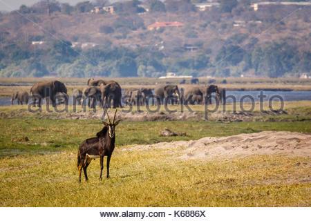 Sable Antelope in Chobe National Park taken on Safari in Botswana, Africa - Stock Photo