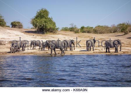 Elephants in Chobe National Park taken on Safari in Botswana, Africa - Stock Photo