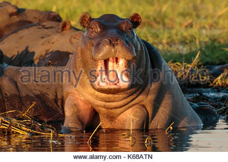 Hippopotamus in Chobe National Park taken on Safari in Botswana, Africa - Stock Photo