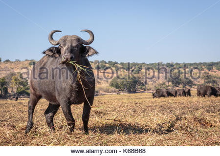 African Cape Buffalo in Chobe National Park taken on Safari in Botswana, Africa - Stock Photo