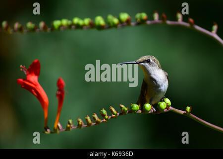 Immature male ruby throated hummingbird (Archilochus colubris) resting on crocosmia branch in a garden in Speculator, - Stock Photo