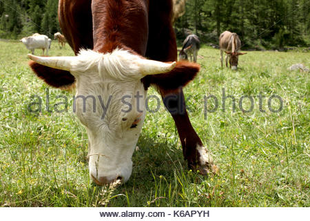 close up on a cow's face on a meadow in italian alps valle d'aosta - Stock Photo