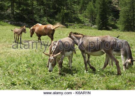 five donkeys on a meadow in italian alps valle d'aosta - Stock Photo