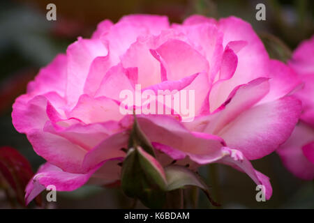 Pink Rose in close up - Stock Photo