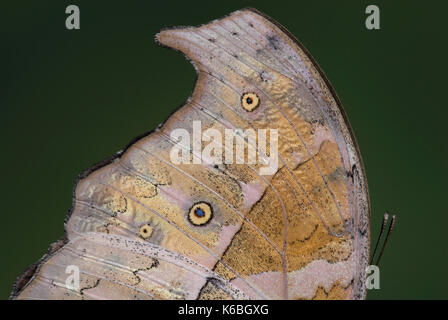 Close up of wing shape, Mother of Pearl Butterfly, Salamis parhassus, eye spots, jagged - Stock Photo