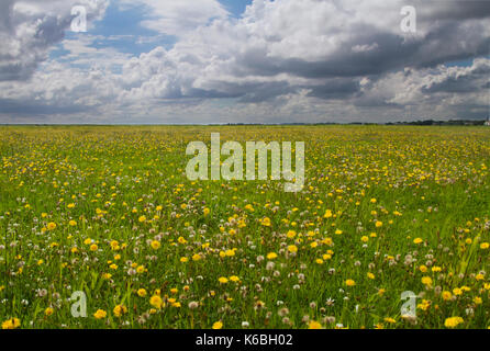 Meadow with lots of Dandelions under a blue sky with white and dark clouds - Stock Photo