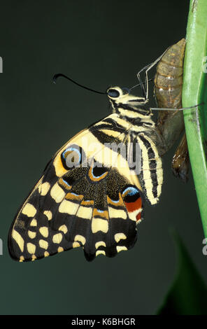 Lime Swallowtail Butterfly, Papilio demoleus, Asia and Australia, just hatched from Pupae, common lime butterfly, - Stock Photo