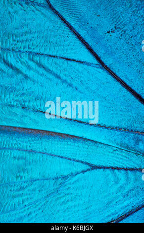 Butterfly Wing Scales, close up, macro, Morpho Nestira, Blue, photographic technique