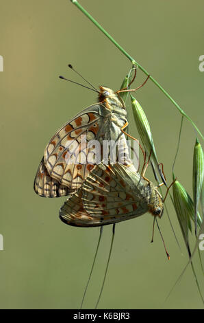 Niobe Fritillary Butterfly, Argynnis niobe, pair mating, Provence, orange - Stock Photo