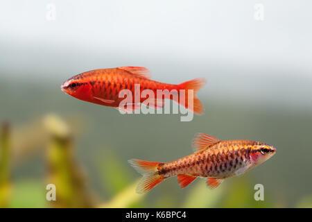 Pair red orange exotic aquarium fishes macro view. Puntius titteya male female barb swimming. Aquatic nature still - Stock Photo