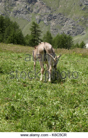 two donkeys grazing on a meadow on italian alps valle d'aosta - Stock Photo