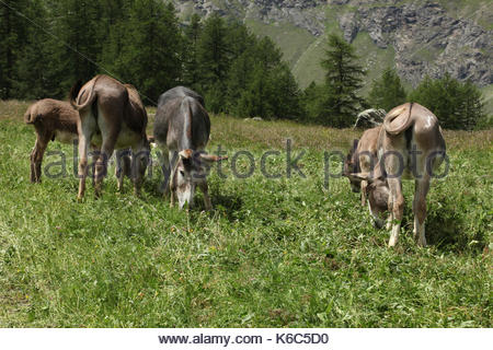 a group of donkeys grazing on a meadow on italin alps valle d'aosta - Stock Photo