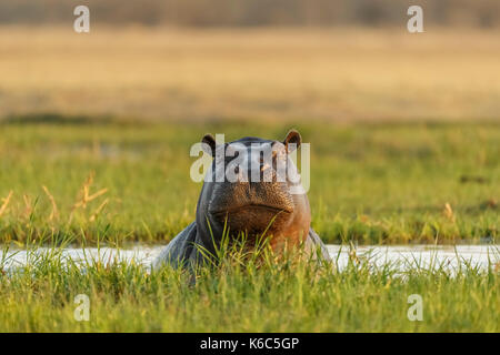 Hippopotamus in water looking. Okavango delta, khwai, Botswana - Stock Photo