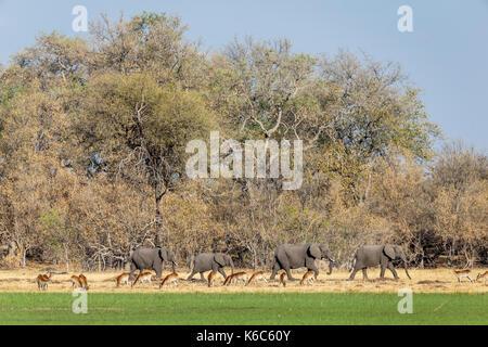 elephant herd walking with red lechwe grazing, Okavango delta, Kwai, Botswana - Stock Photo