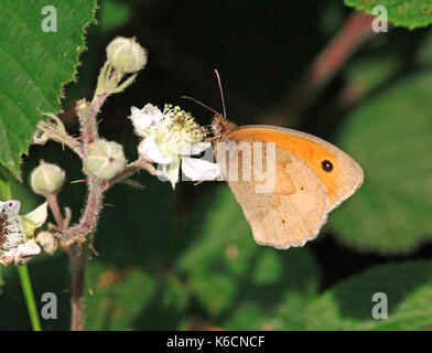 A Meadow Brown butterfly, Maniola jurtina, feeding on bramble flower at Buxton Heath, Hevingham, Norfolk, England, - Stock Photo
