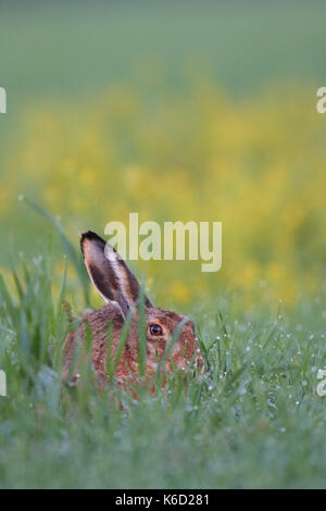 European Brown Hare (Lepus europaeus) sitting in a dew wet field. Europe - Stock Photo