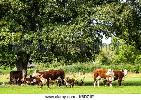 Cessford, Morebattle, Kelso, Scottish Borders, UK. 12th Sep, 2017. Cattle and calves graze under a broad leaf near - Stock Photo