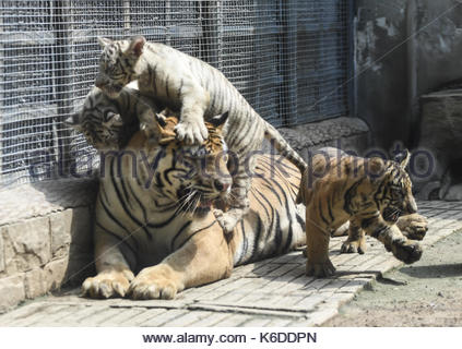 Jinan, China. 06th Sep, 2017. Tiger triplets meet the public at the Jinan Zoo in Jinan, capital of east China's - Stock Photo