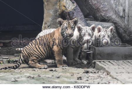 Jinan, China. 06th Sep, 2017. Tiger triplets meet the public at the Jinan Zoo in Jinan, capital of east China's - Stock Photo