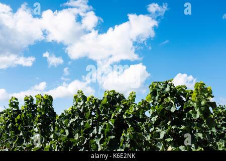 Vineyard near Bad Dürkheim, Germany, in September - Stock Photo